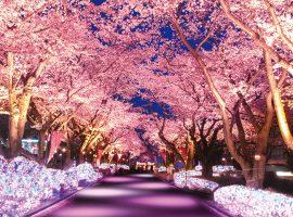 ※桜並木ライトアップイメージ