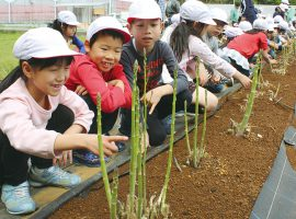 はるひ野小児童らが収穫「くろかわのアスパラガス」