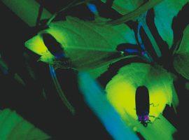 2019/6/1(土)〜よみうりランド聖地公園「ほたる観賞会 ほたる・ねぶたの宵」