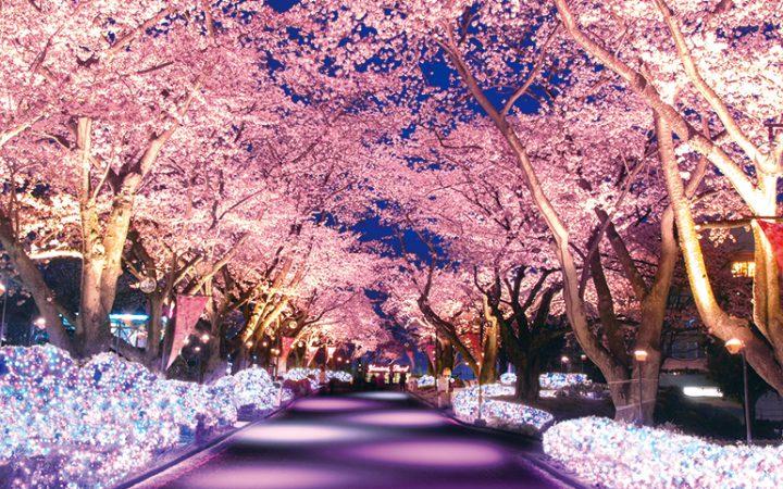 ライトアップされた全長180mの桜並木(イメージ)
