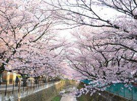 麻生川沿いの桜並木