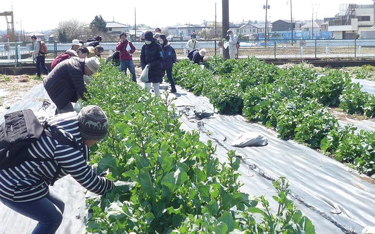のらぼう菜の収穫