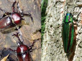 岡上に生息する昆虫の例(左:カブトムシ、右:タマムシ)