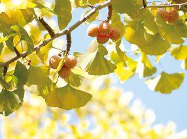 虹ヶ丘公園の銀杏