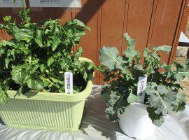 品種登録は市町村では珍しく、神奈川県内でも初