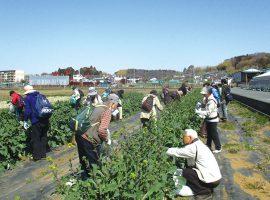 今回は県内で初めて品種登録された新品種のおいしい「のらぼう菜」を収穫。散策では菜の花や珍しい春の植物に出会える可能性も。