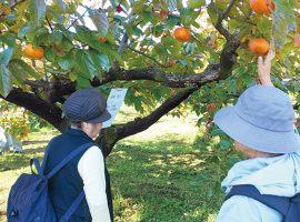 2019/11/9(土)岡上地区 柿収穫体験と健康ウォーキング