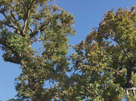 佐須町にある禅寺丸柿の古木