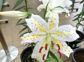 麻生区の花「ヤマユリ」の開花展示会