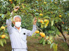 丁寧に整備された「アグ里やまかげ」の柿畑にて。10月中旬に収穫時を迎える甘柿の「伊豆」(価格は1kg380円ぐらいとなる見込み)。